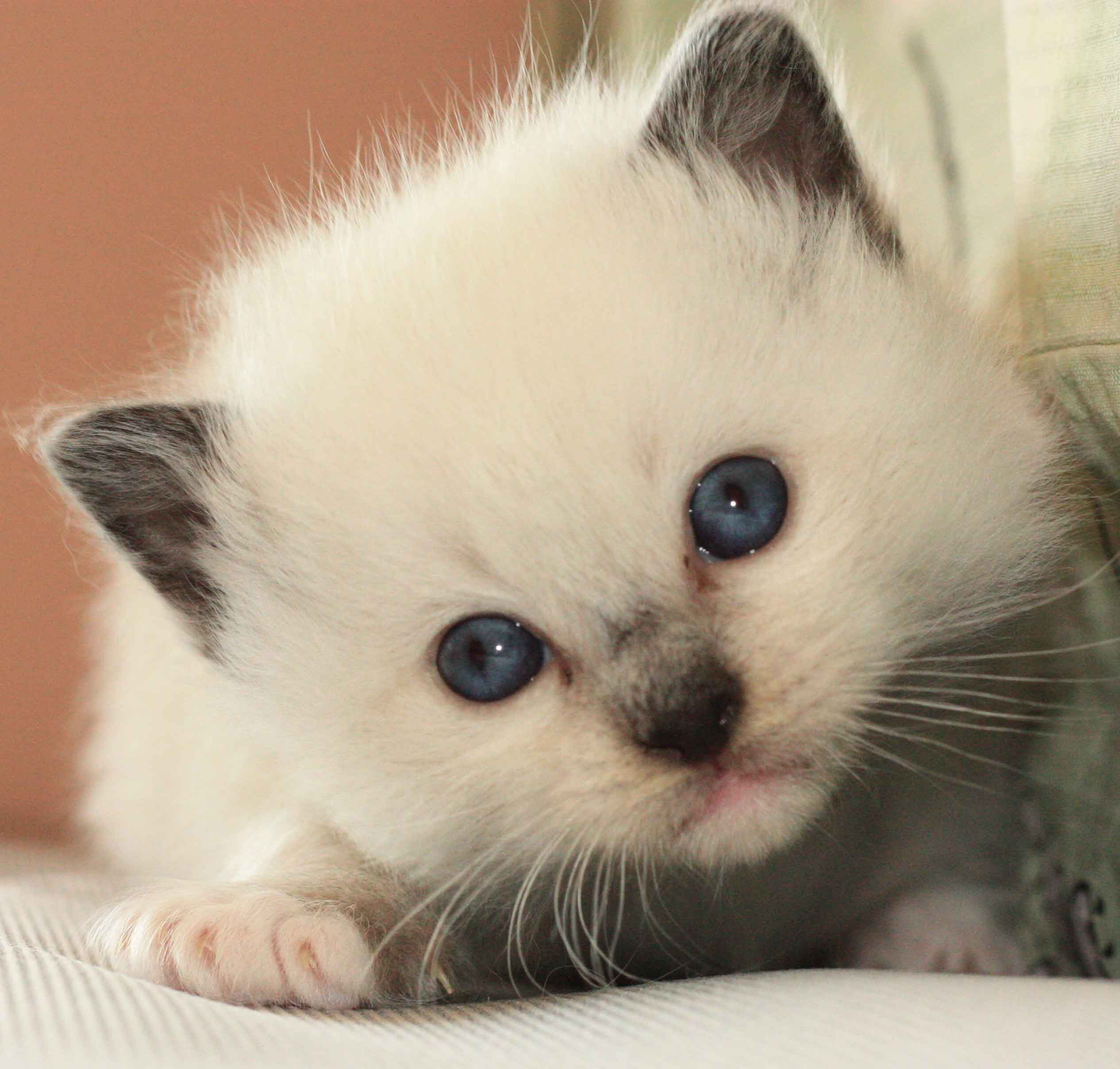 Frequently Asked Questions About Ragdoll Kittens