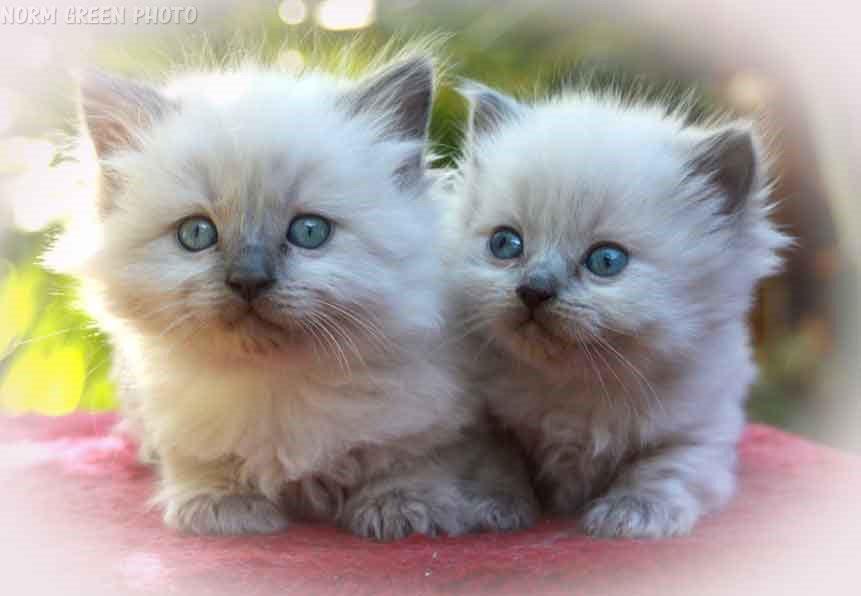 Ragdoll kitten images